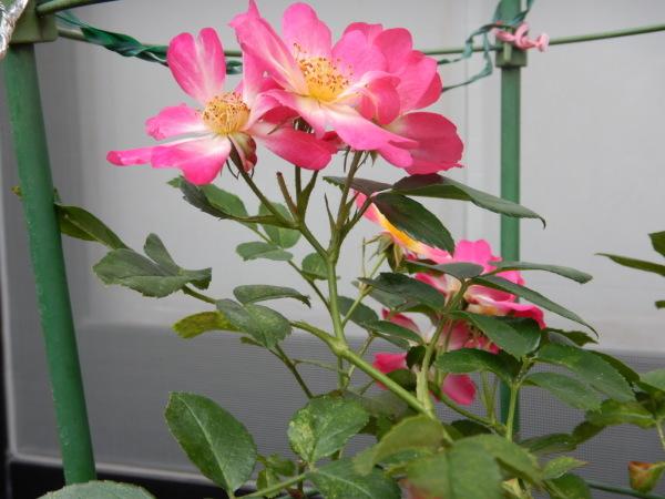 ドリフトローズ(ピンク)_d0000324_10420327.jpg