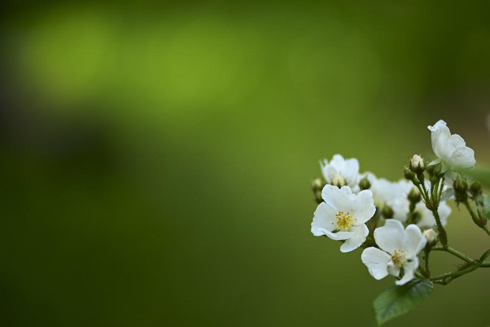 白い花_d0265224_17564271.jpg