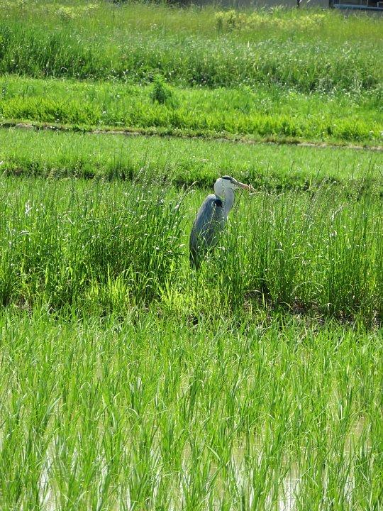 2020年6月8日 青田にアオサギさんが・・・  !(^^)!_b0341140_15344671.jpg
