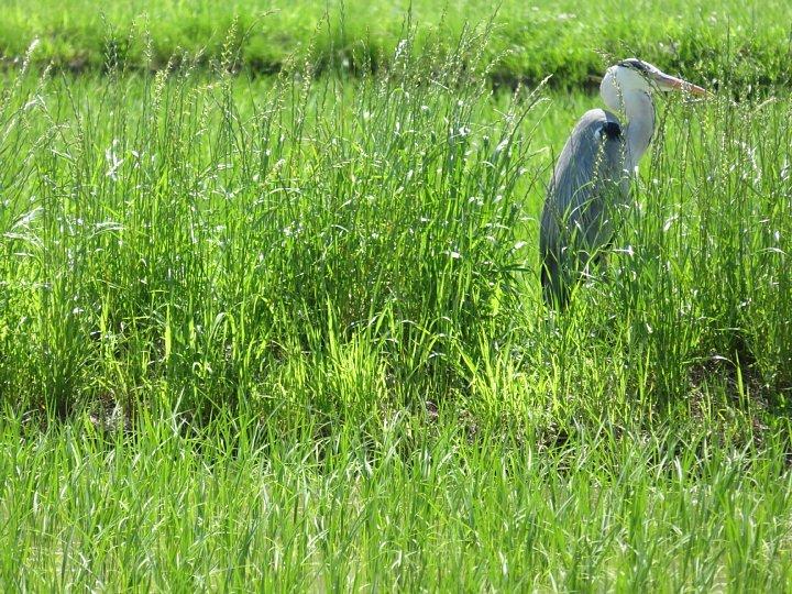2020年6月8日 青田にアオサギさんが・・・  !(^^)!_b0341140_15352727.jpg