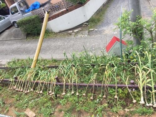 ニンニク収穫~!_c0331145_20335633.jpg
