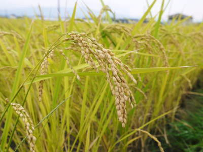 無農薬栽培の米粉、発芽玄米、雑穀米大好評発売中!「健康農園」さんの令和2年度の米作りがスタート!_a0254656_19112577.jpg