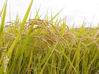 無農薬栽培の米粉、発芽玄米、雑穀米大好評発売中!「健康農園」さんの令和2年度の米作りがスタート!_a0254656_19160030.jpg