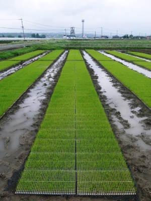 無農薬栽培の米粉、発芽玄米、雑穀米大好評発売中!「健康農園」さんの令和2年度の米作りがスタート!_a0254656_19263810.jpg
