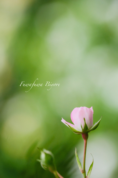 ピンクの薔薇 **_d0344864_17151058.jpg