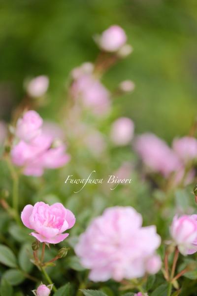 ピンクの薔薇 **_d0344864_17152912.jpg