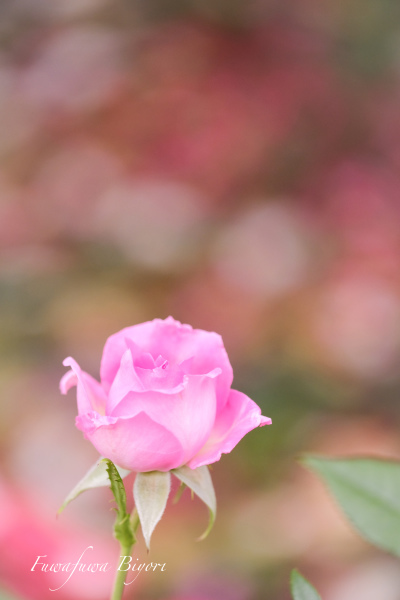 ピンクの薔薇 **_d0344864_17153936.jpg