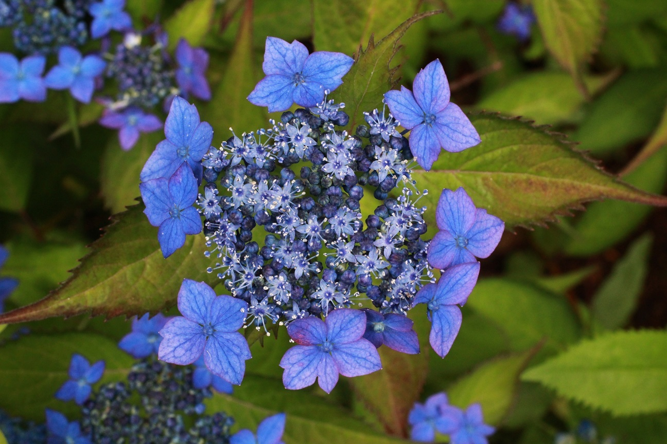 藍姫&阿蘇 ~山紫陽花~ _a0107574_14003871.jpg