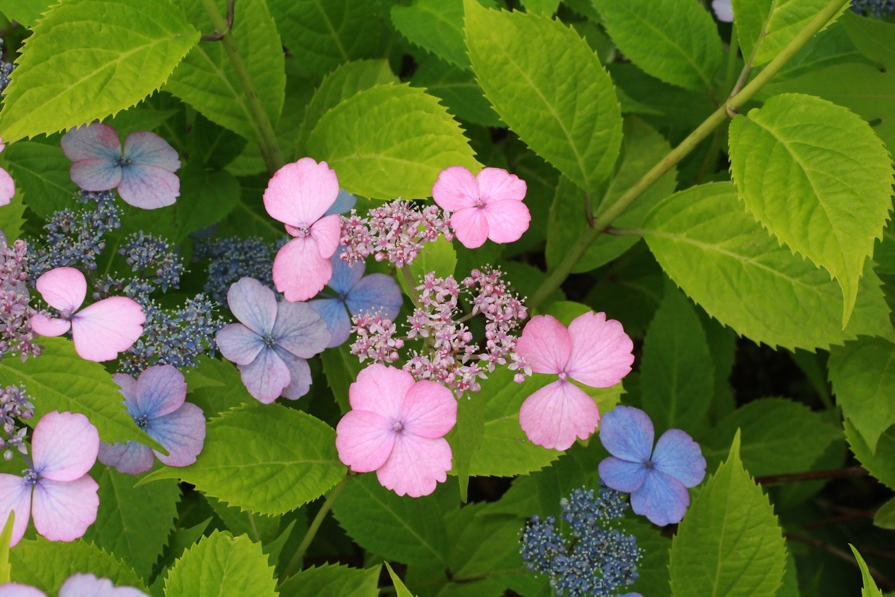 藍姫&阿蘇 ~山紫陽花~ _a0107574_14005548.jpg
