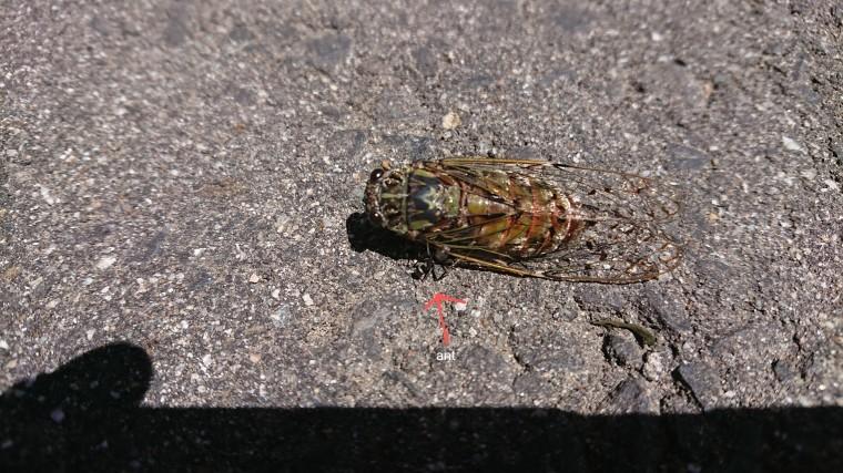 cicada_b0185375_00361261.jpg