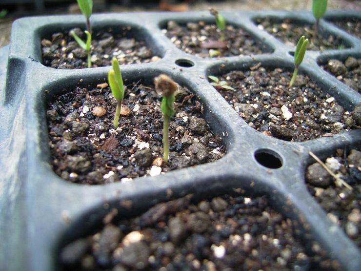 やっと芽が出てきた_d0225575_18212805.jpg