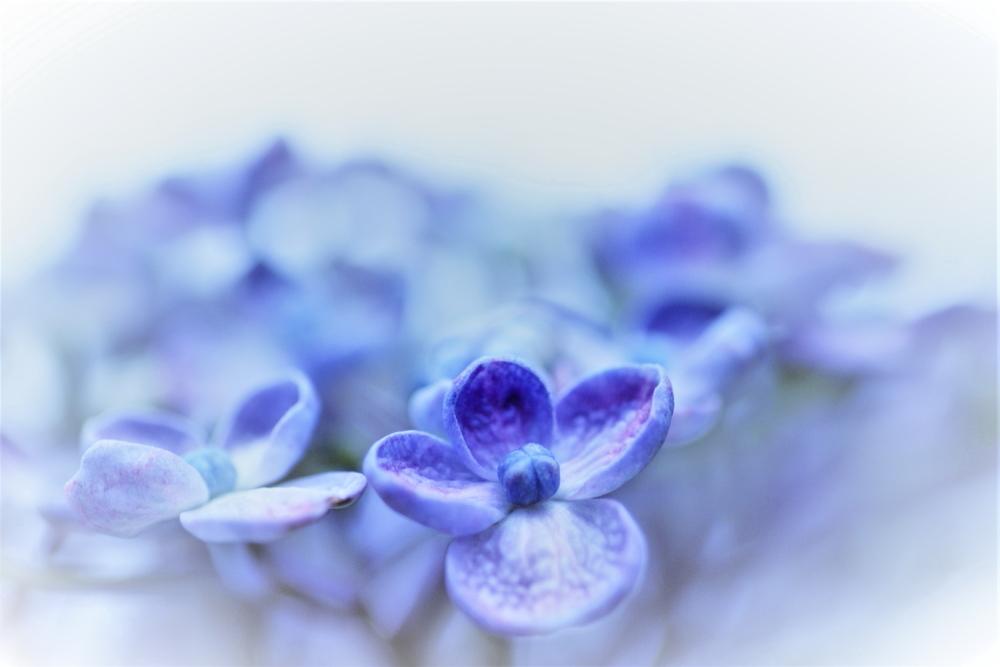 紫陽花に合える、しあわせ!・_c0357781_20234197.jpg