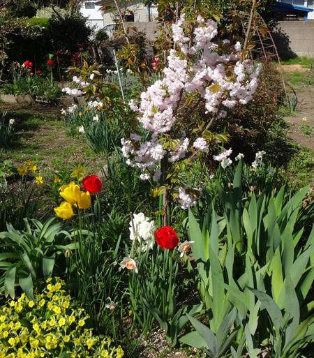 小さな八重桜、キレンゲツツジなど五月の花木を幾つか♪_a0136293_17083353.jpg