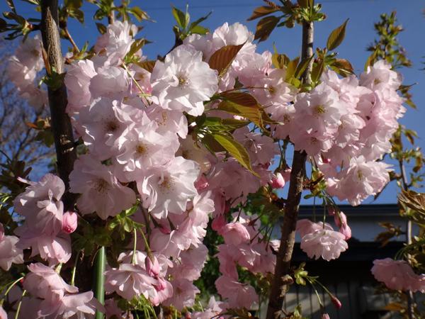 小さな八重桜、キレンゲツツジなど五月の花木を幾つか♪_a0136293_17112280.jpg