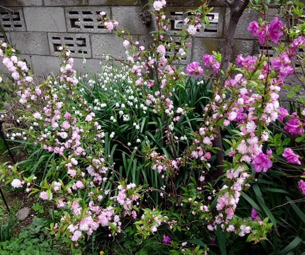 小さな八重桜、キレンゲツツジなど五月の花木を幾つか♪_a0136293_17135495.jpg