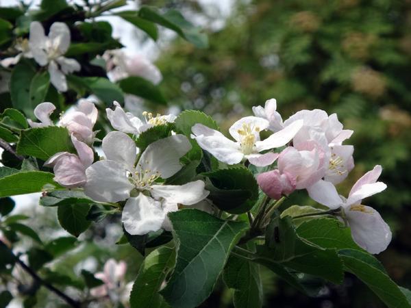 小さな八重桜、キレンゲツツジなど五月の花木を幾つか♪_a0136293_17164149.jpg