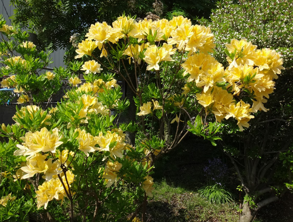 小さな八重桜、キレンゲツツジなど五月の花木を幾つか♪_a0136293_17213652.jpg