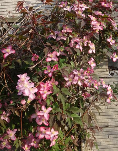小さな八重桜、キレンゲツツジなど五月の花木を幾つか♪_a0136293_17224404.jpg