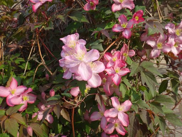 小さな八重桜、キレンゲツツジなど五月の花木を幾つか♪_a0136293_17232887.jpg