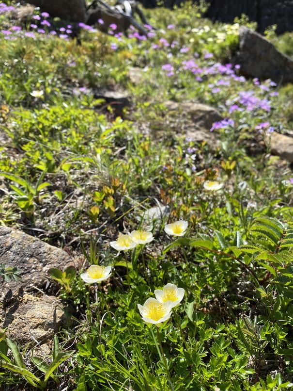 """2020年5月 『初めての日高アポイ岳、花の名山』 May 2020 \""""The First Visit of Mt Apoi\""""_c0219616_21514882.jpg"""
