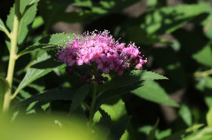 庭の花   <6/1>_c0404426_07374721.jpg