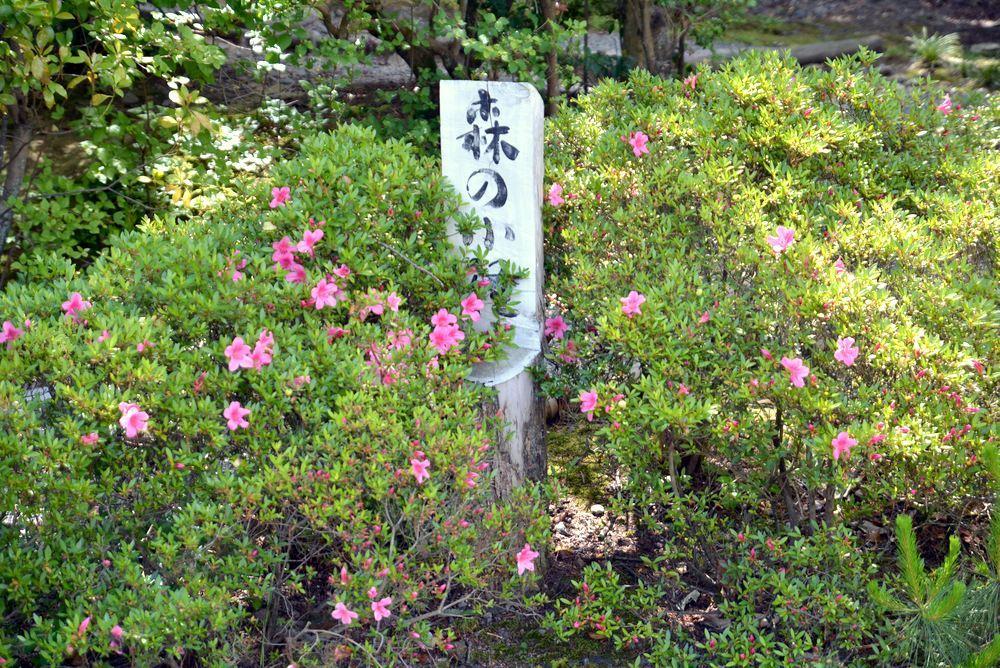 5月末に咲くサツキの花 正門周辺_e0373930_20003900.jpg