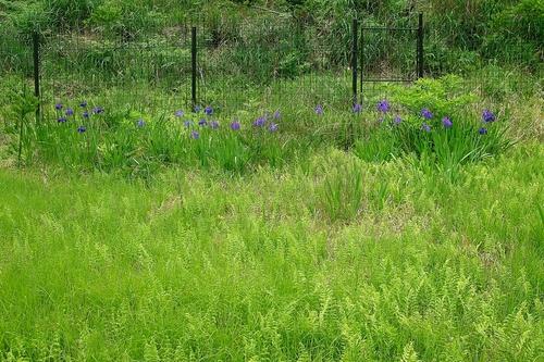 森林公園「くつきの森」と上針畑・小入谷のカキツバタ再生_d0005250_1716333.jpg