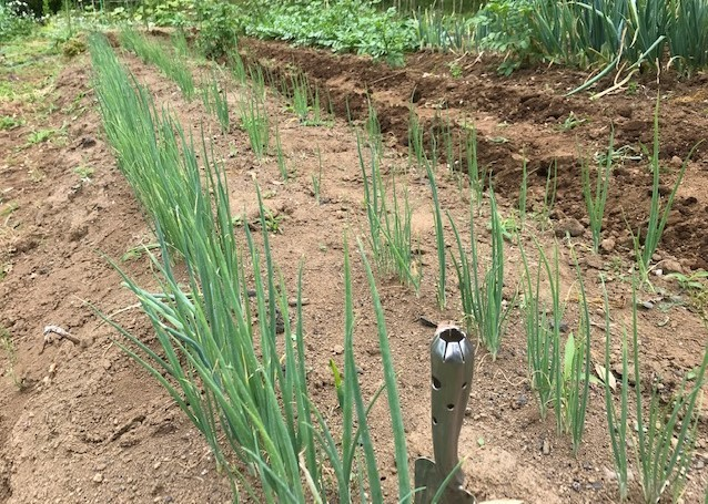 種を蒔いて育てたネギ苗500本を定植5・31_c0014967_06563788.jpg
