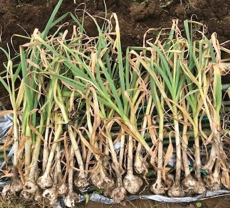 種を蒔いて育てたネギ苗500本を定植5・31_c0014967_06571730.jpg