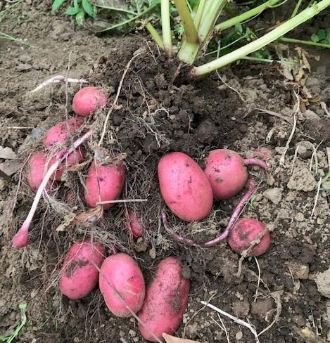 種を蒔いて育てたネギ苗500本を定植5・31_c0014967_06573263.jpg