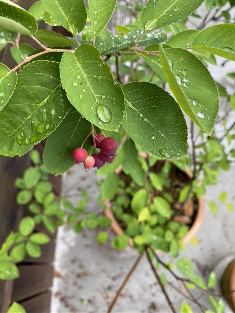 ジューンベリーと初夏の庭木たち_c0334574_19090297.jpeg