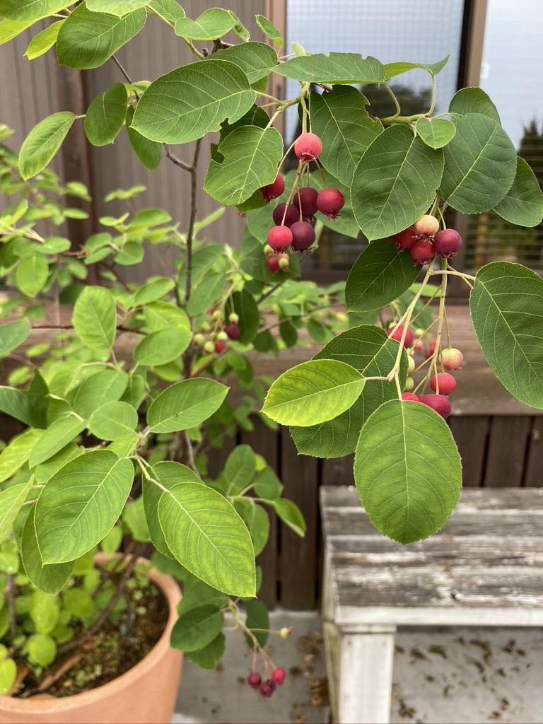 ジューンベリーと初夏の庭木たち_c0334574_19092336.jpeg