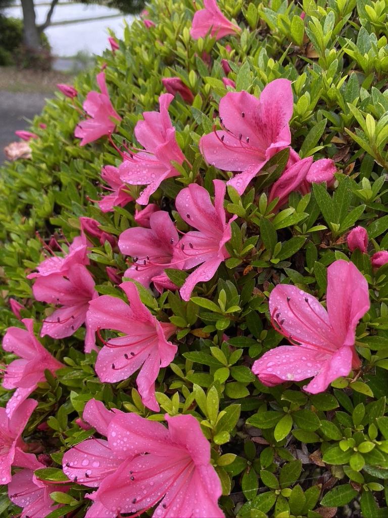 ジューンベリーと初夏の庭木たち_c0334574_19095707.jpeg