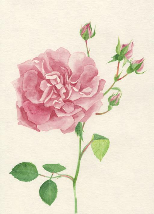 今日の絵「庭のつるバラ」_a0138978_18034643.jpg