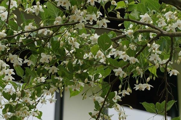 樹木のお花など_e0365880_19242126.jpg