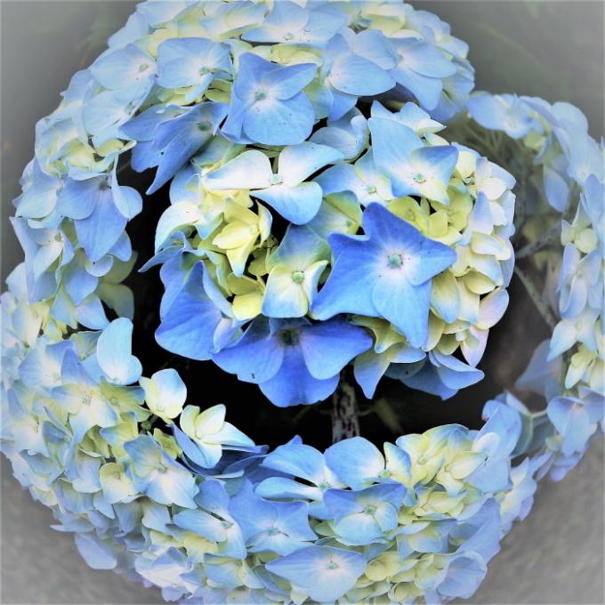 紫陽花に合える、しあわせ!・_c0357781_09032690.jpg