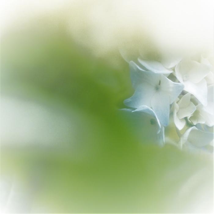 紫陽花に合える、しあわせ!・_c0357781_09043198.jpg