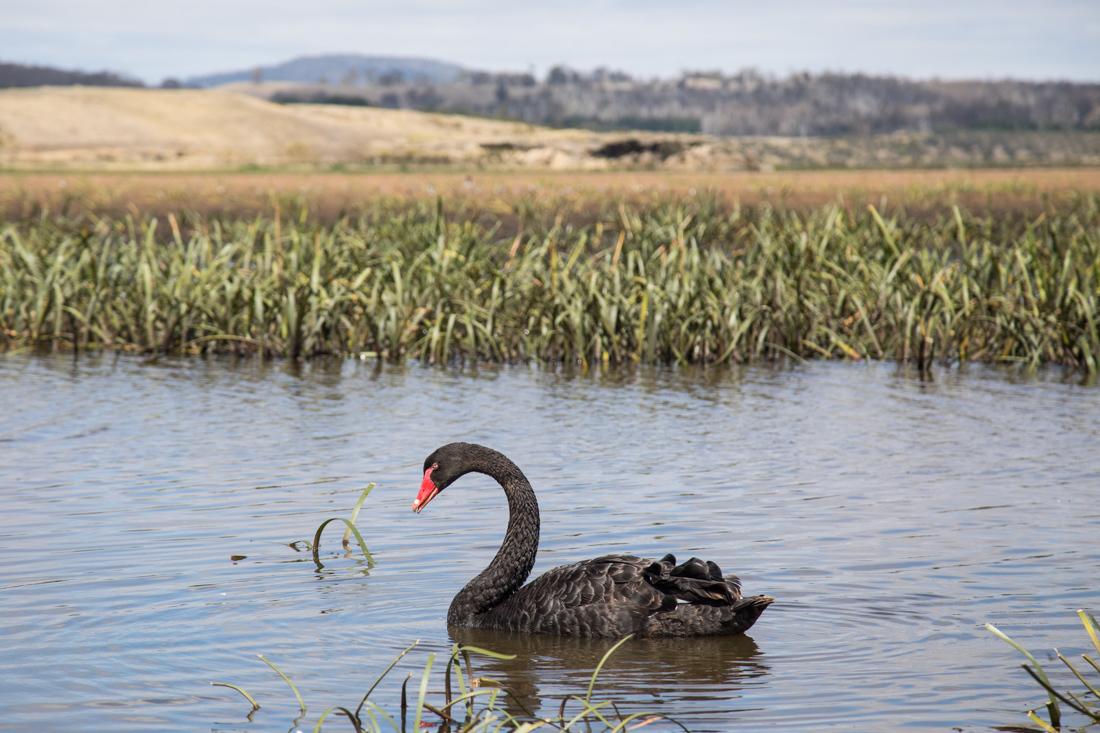 黒鳥の湖 <タスマニア>_c0248100_19482377.jpg