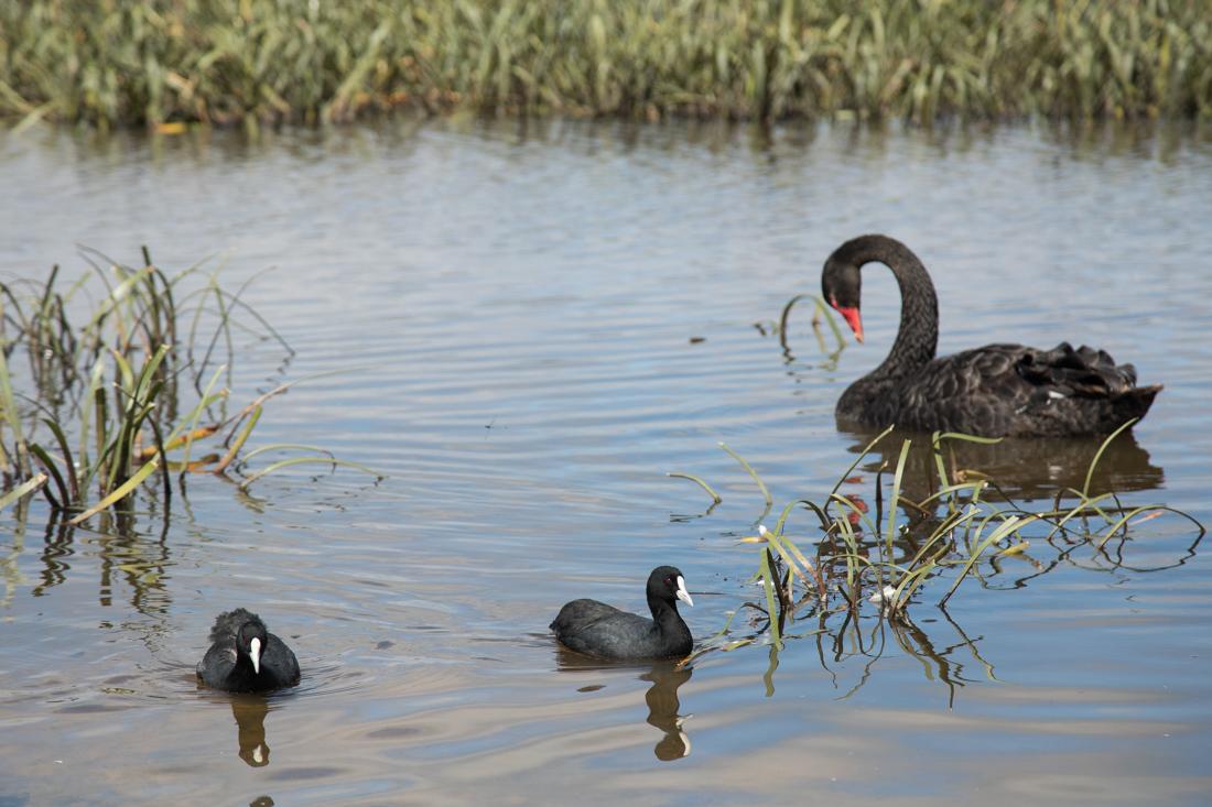 黒鳥の湖 <タスマニア>_c0248100_19482379.jpg