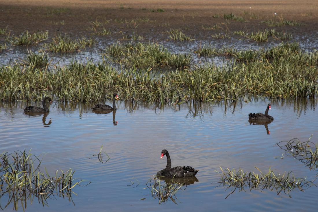 黒鳥の湖 <タスマニア>_c0248100_19482408.jpg