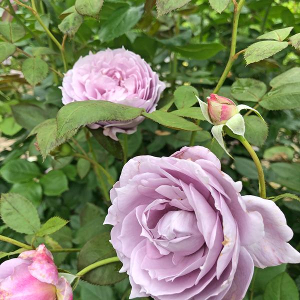 イングリッシュ(ローズ)の庭へ_c0134902_22145361.jpg