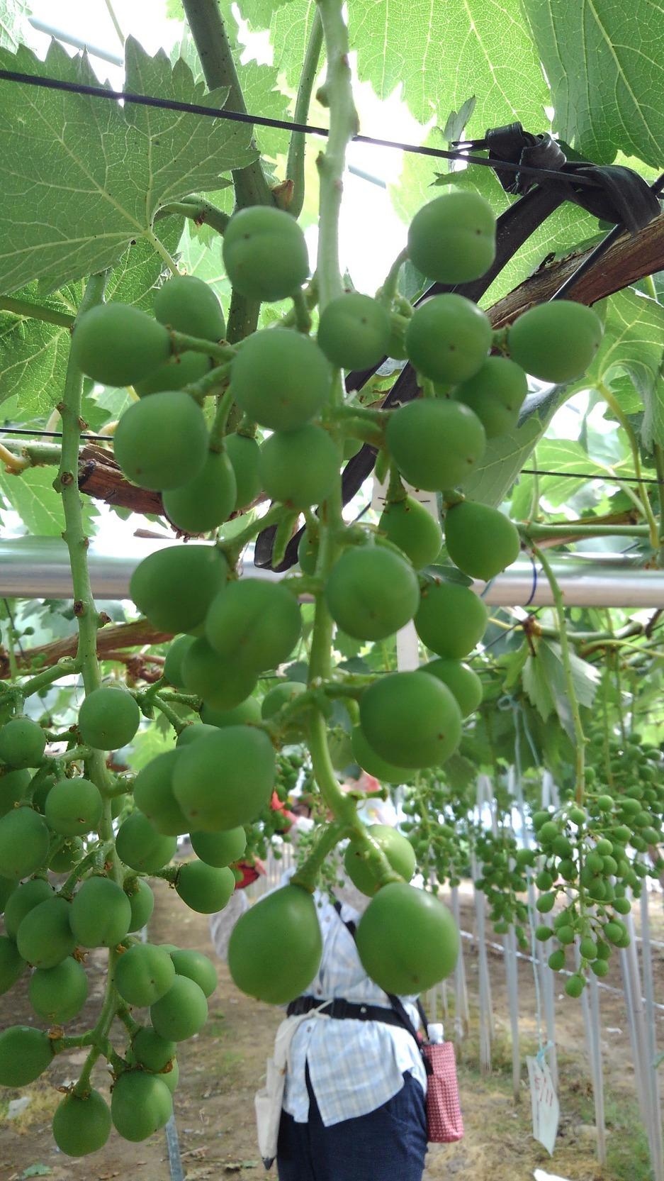 ぶどうの摘粒作業が始まりました。_d0026905_15302422.jpg