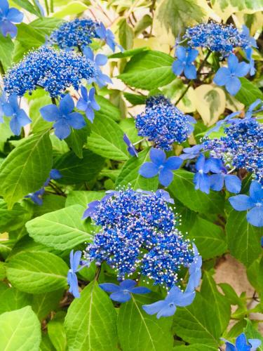 紫陽花の季節_c0227612_14555697.jpg
