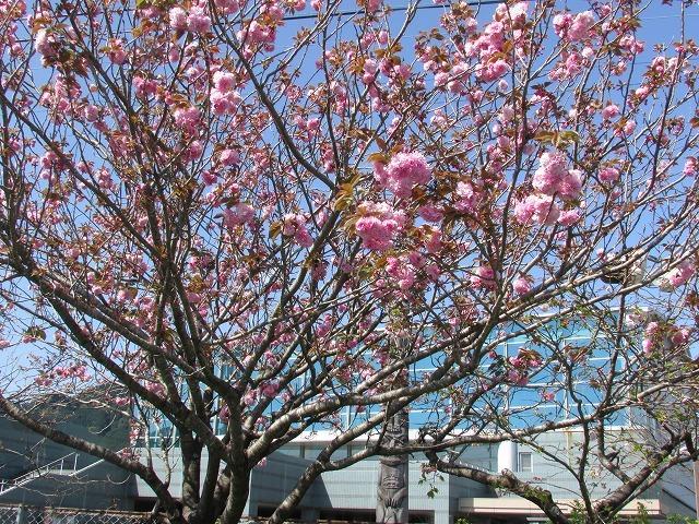 咲き誇るボタン桜_e0321325_15315699.jpg