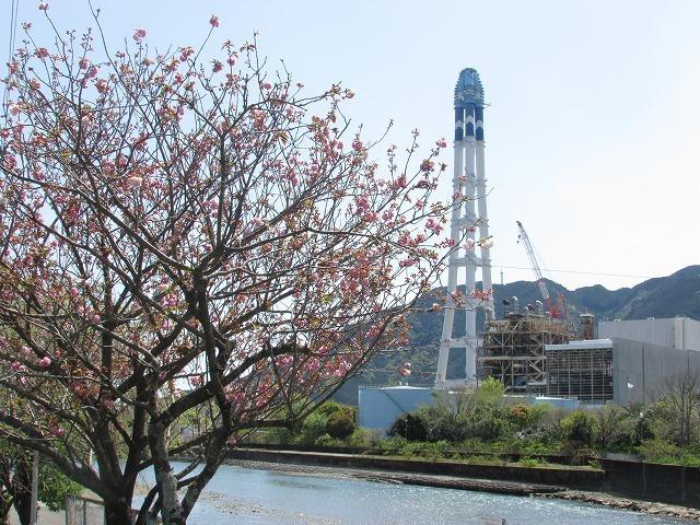 咲き誇るボタン桜_e0321325_15335474.jpg