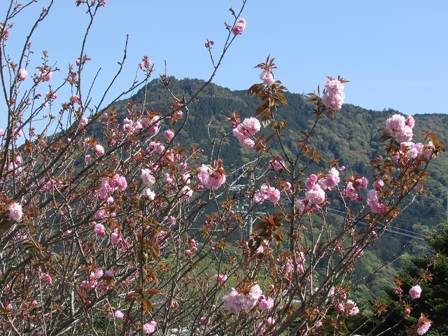 咲き誇るボタン桜_e0321325_15350698.jpg