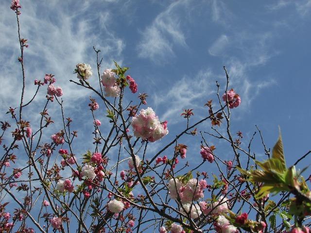 咲き誇るボタン桜_e0321325_15360123.jpg