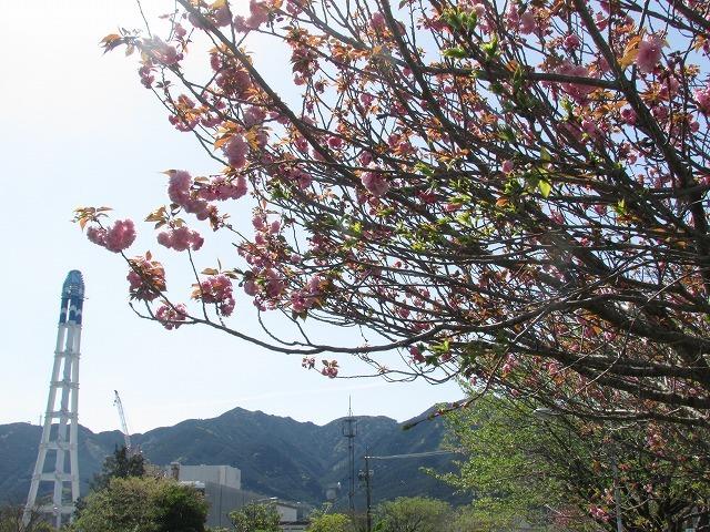 咲き誇るボタン桜_e0321325_15362939.jpg
