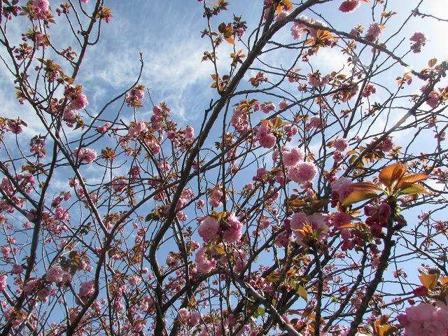 咲き誇るボタン桜_e0321325_15364436.jpg