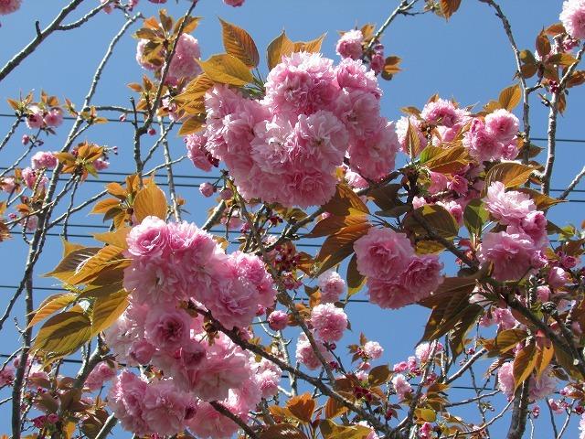 咲き誇るボタン桜_e0321325_15365725.jpg